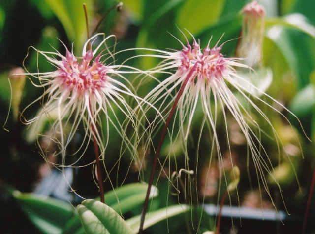 Bulbophyllum Thai Spider